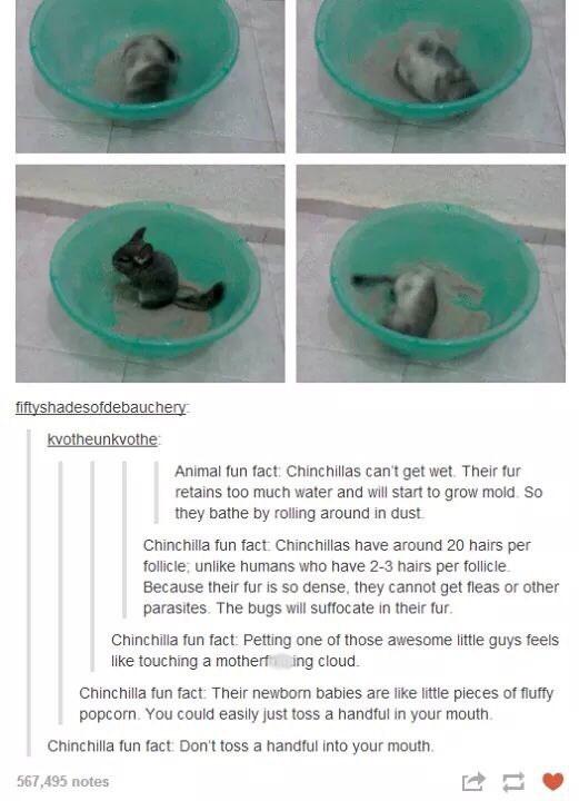Tumblr thread listing various Chinchilla facts