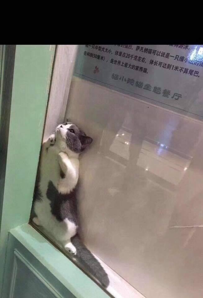 cat - Cat - 盟,萨凡納描可以说是一只缩小城的 1中提火大小,体重在20千克左右,体长可达到1米不算尾巴。 在40到50米),是世界上最大的家养獄, 猫小跨貓主题餐厅