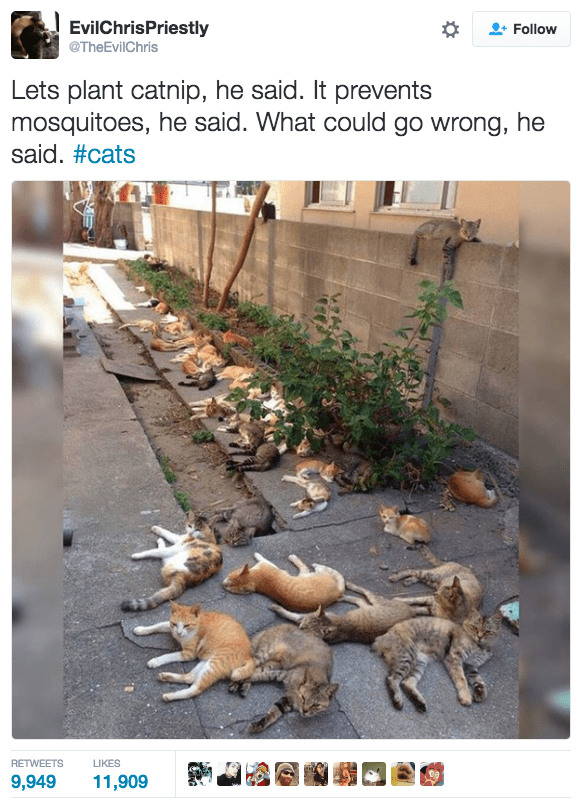 Adaptation - EvilChrisPriestly TheEvilChris Follow Lets plant catnip, he said. It prevents mosquitoes, he said. What could go wrong, he said. #cats RETWEETS LIKES 9,949 11,909