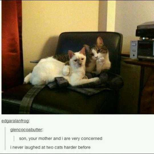 Cat - edgaralantrog: glencocoabutter son, your mother and i are very concerned i never laughed at two cats harder before
