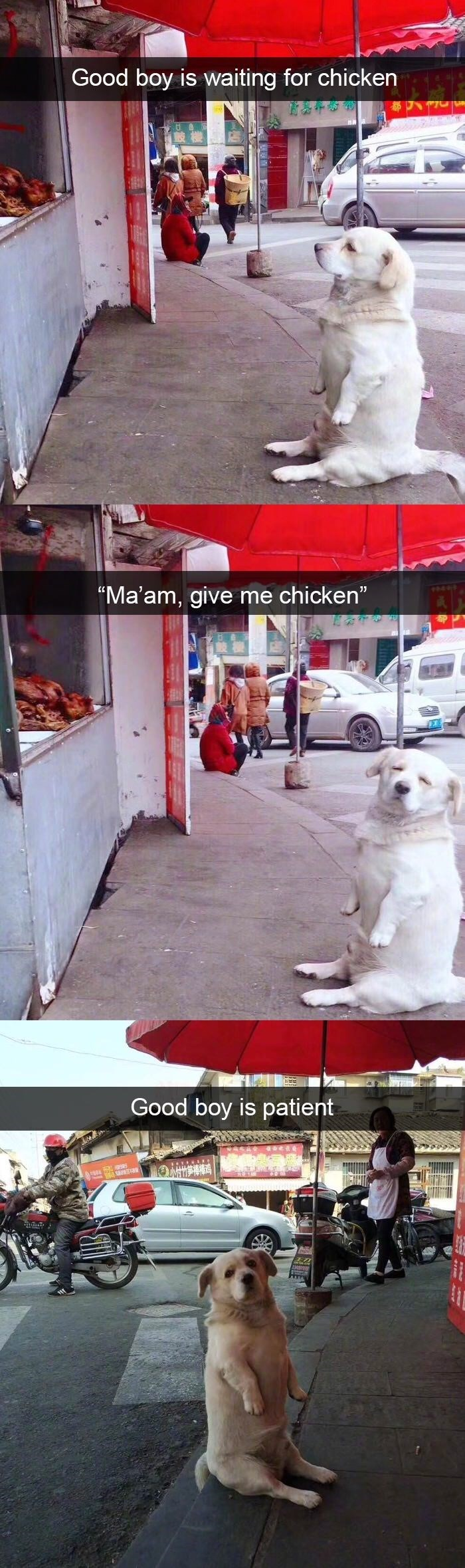 funny dog meme of a dog sitting on his legs while waiting for food