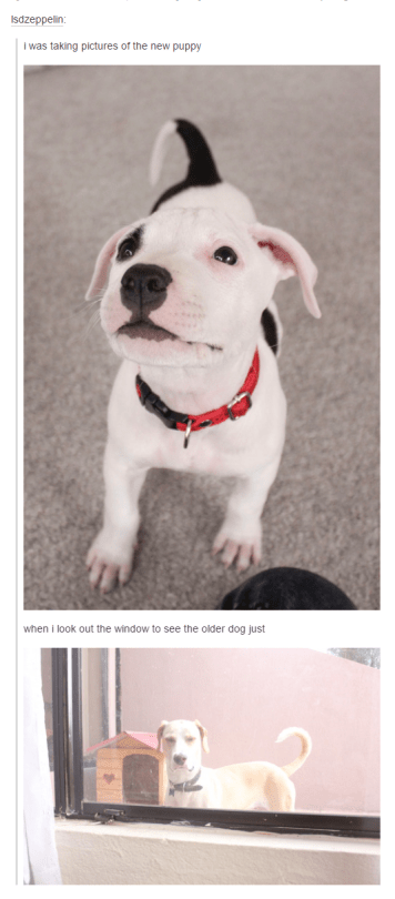 funny dog meme of a dog getting jealous of the new puppy in the house