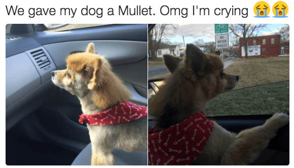 "Caption that reads, ""We gave my dog a mullet. Omg I'm crying"" above pics of a little dog in a car with a mullet"