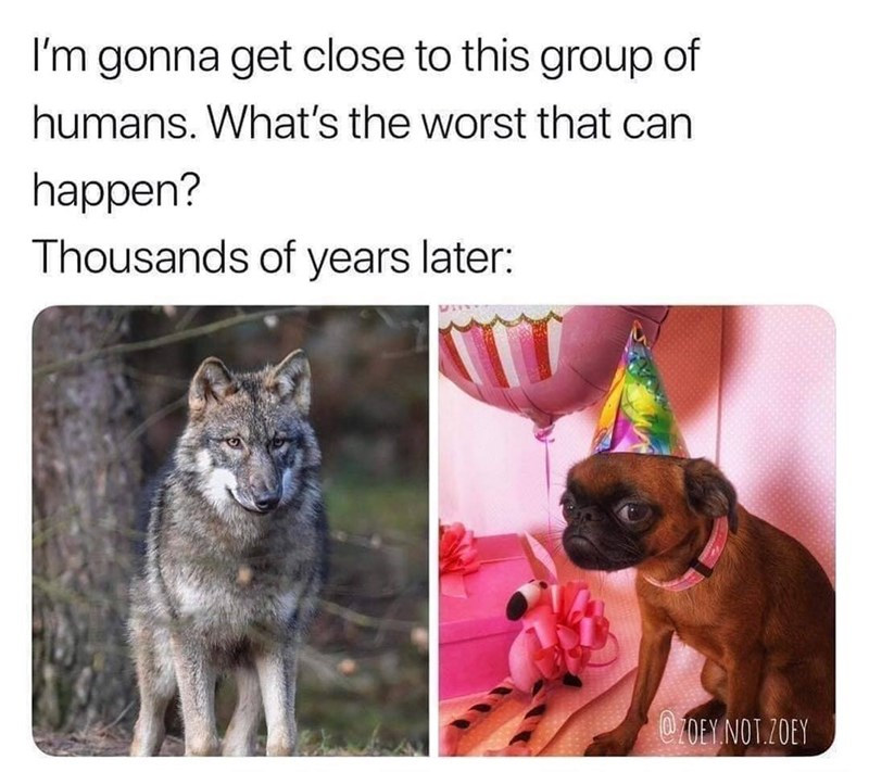 Funny meme about the domestication of wolves and other canines into little wimpy dogs.