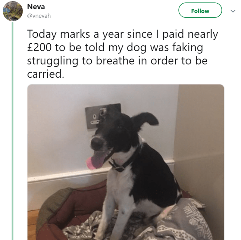 Dog - Neva Follow @vnevah Today marks a year since I paid nearly £200 to be told my dog was faking struggling to breathe in order to be carried.