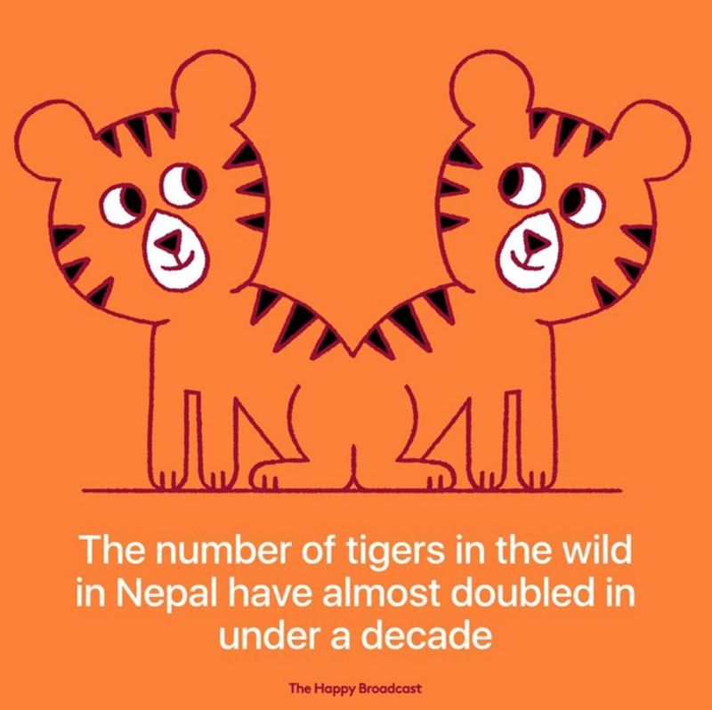 Text - The number of tigers in the wild in Nepal have almost doubled in under a decade The Happy Broadcast