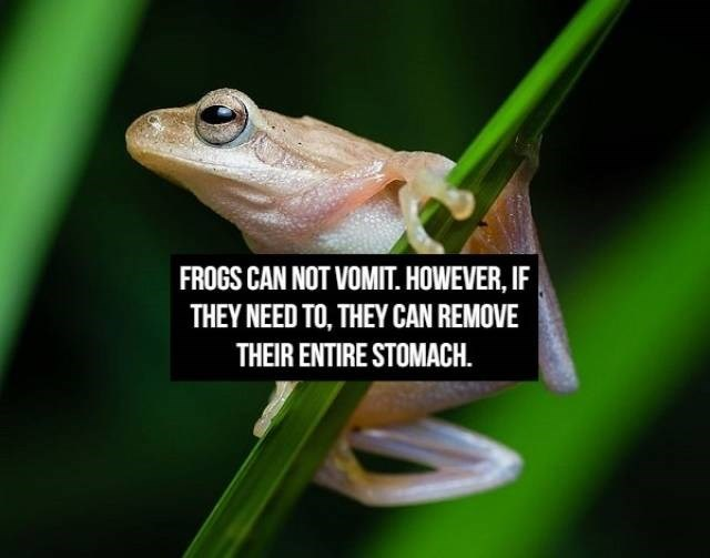 Tree frog - FROGS CAN NOT VOMIT. HOWEVER, IF THEY NEED TO, THEY CAN REMOVE THEIR ENTIRE STOMACH