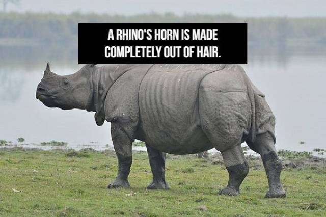 Rhinoceros - A RHINO'S HORN IS MADE COMPLETELY OUT OF HAIR