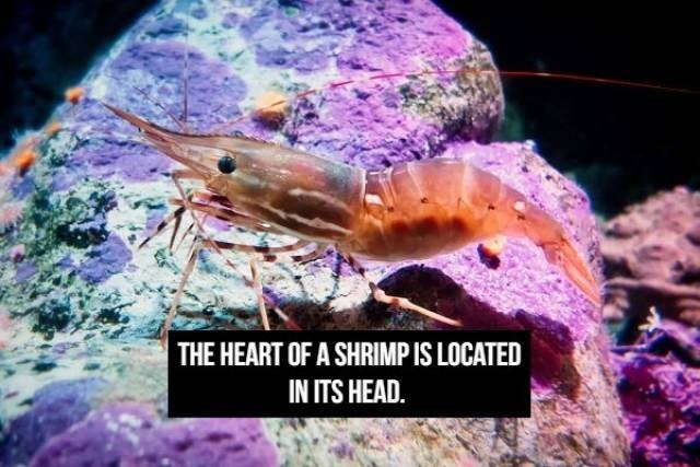 Organism -  THE HEART OF A SHRIMP IS LOCATED IN ITS HEAD.