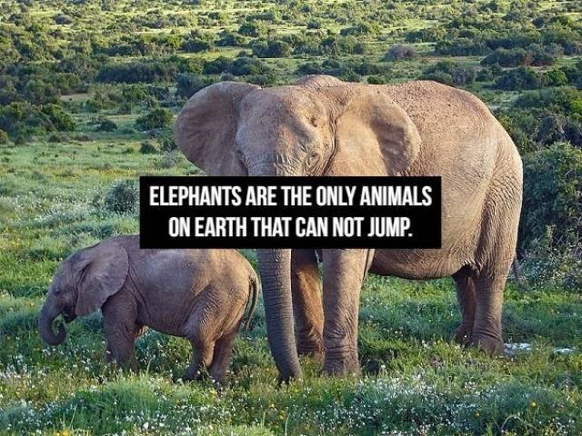 Elephant - ELEPHANTS ARE THE ONLY ANIMALS ON EARTH THAT CAN NOT JUMP.