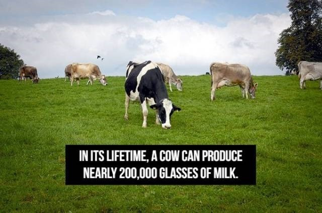 Pasture - IN ITS LIFETIME, A COW CAN PRODUCE NEARLY 200,000 GLASSES OF MILK.