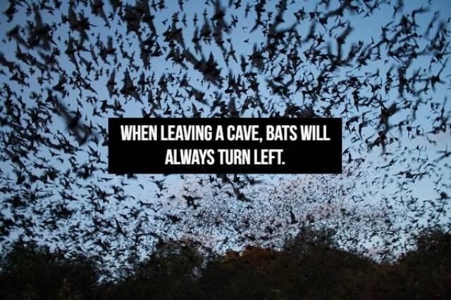 Text - WHEN LEAVING A CAVE, BATS WILL ALWAYS TURN LEFT