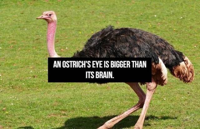 Bird - AN OSTRICH'S EYE IS BIGGER THAN ITS BRAIN.