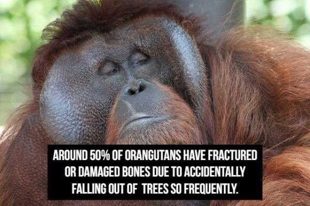 Orangutan - AROUND 50% OF ORANGUTANS HAVE FRACTURED OR DAMAGED BONES DUE TO ACCIDENTALLY FALLING OUT OF TREES SO FREQUENTLY.