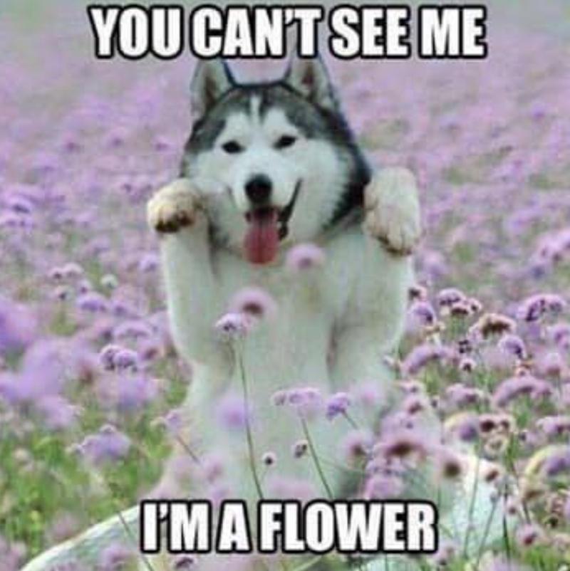 dog meme - Mammal - YOUCANT SEE ME IMA FLOWER
