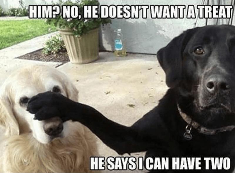 dog meme - Vertebrate - HIMP NO HE DOESNTWANTA TREAT HESAYSICAN HAVE TWO