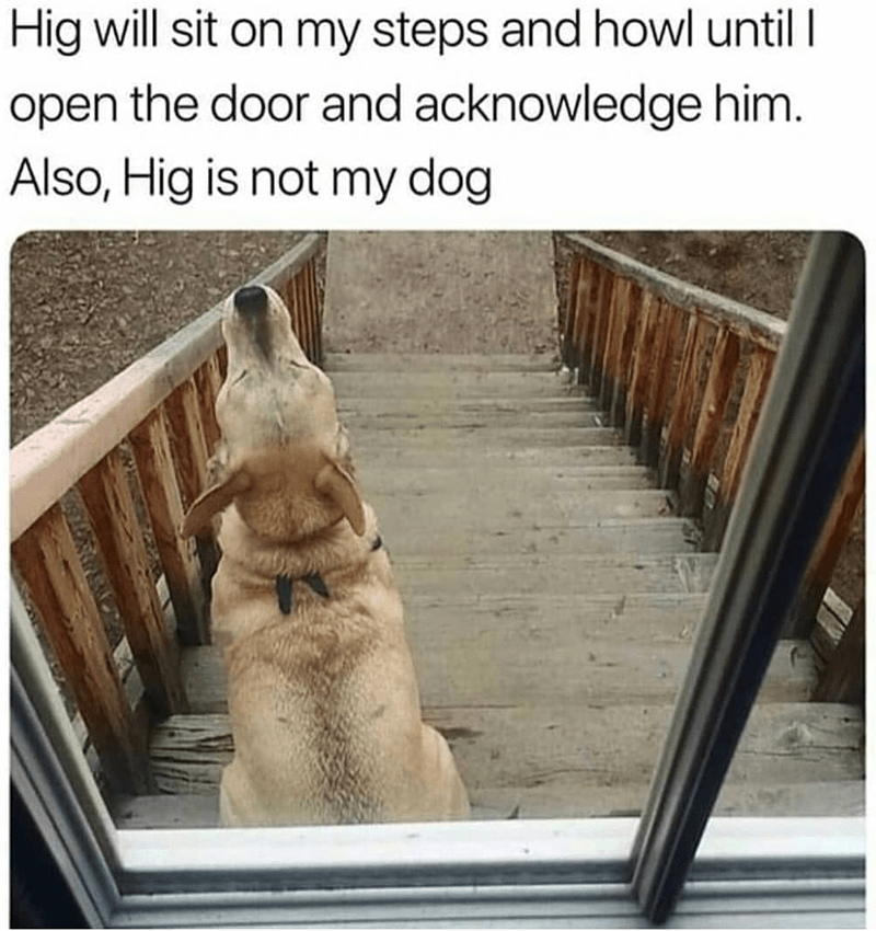 dog meme - Dog - Hig will sit on my steps and howl until I open the door and acknowledge him. Also, Hig is not my dog