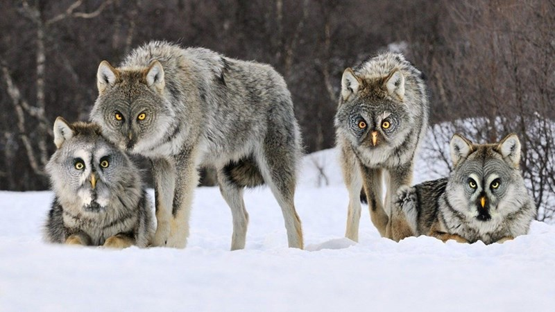 Photoshopped pic of pack of wolves with owl faces