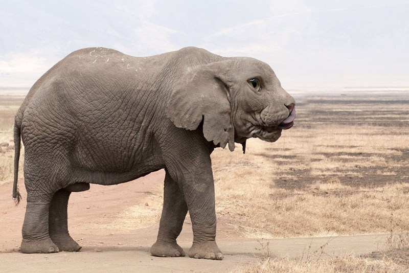 Photoshopped pic of elephant with a sphynx cat's face