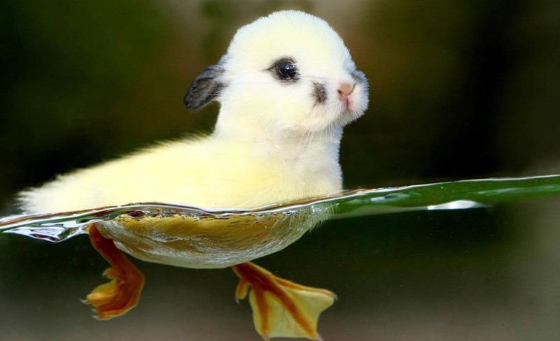 Photoshopped pic of bunny swimming with duck legs