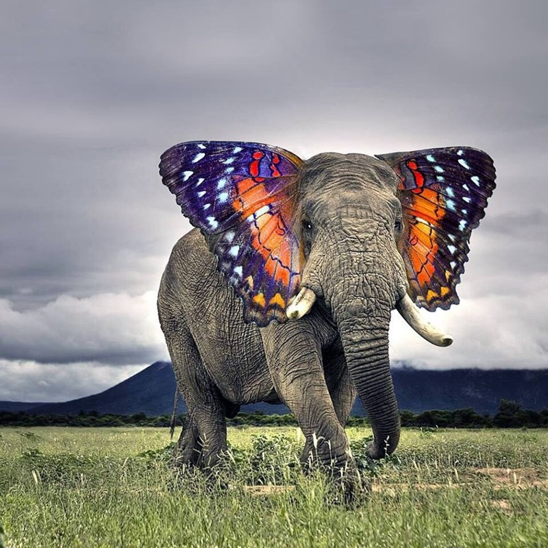 Photoshopped pic of an elephant with butterfly wings for ears