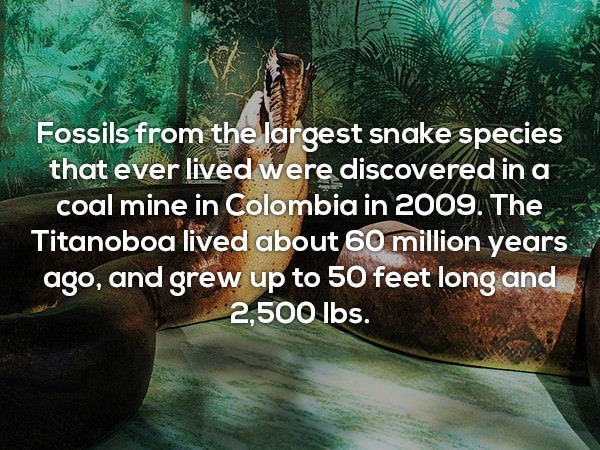 Text - Fossils from the largest snake species that ever lived were discovered in a coal mine in Colombia in 2009. The Titanoboa lived about 60 million years ago, and grew up to 50 feet long and 2,500 lbs.