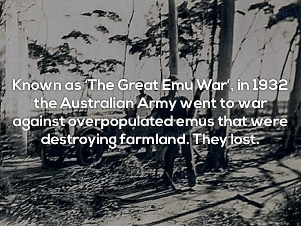 Text - Known as The Great EmuWar, in 1932 the Australian Army went towar against overpopulated emus that were destroying farmland. Theyfost