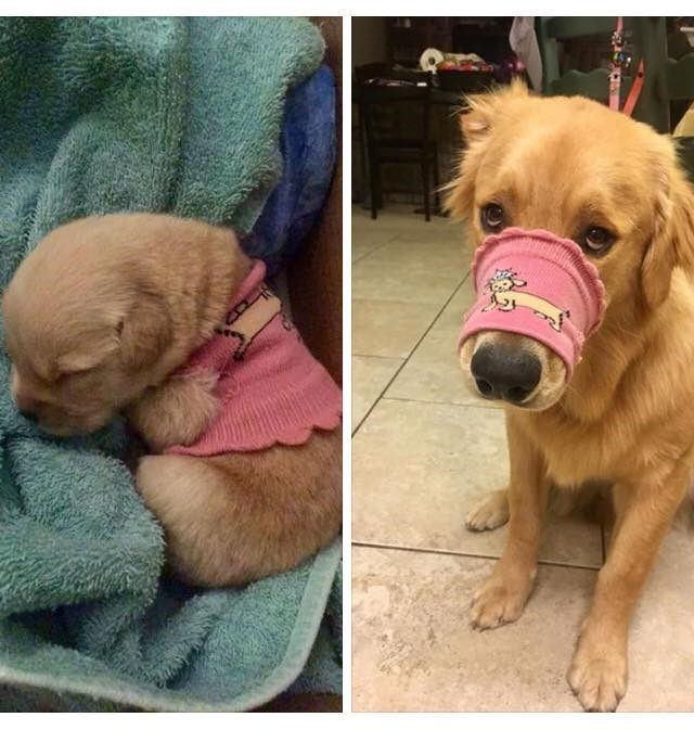 pic of adult dog who grew too big for the clothes it wore as a puppy