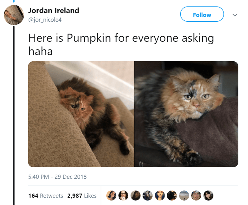 Cat - Jordan Ireland Follow @jor_nicole4 Here is Pumpkin for everyone asking haha 5:40 PM 29 Dec 2018 164 Retweets 2,987 Likes