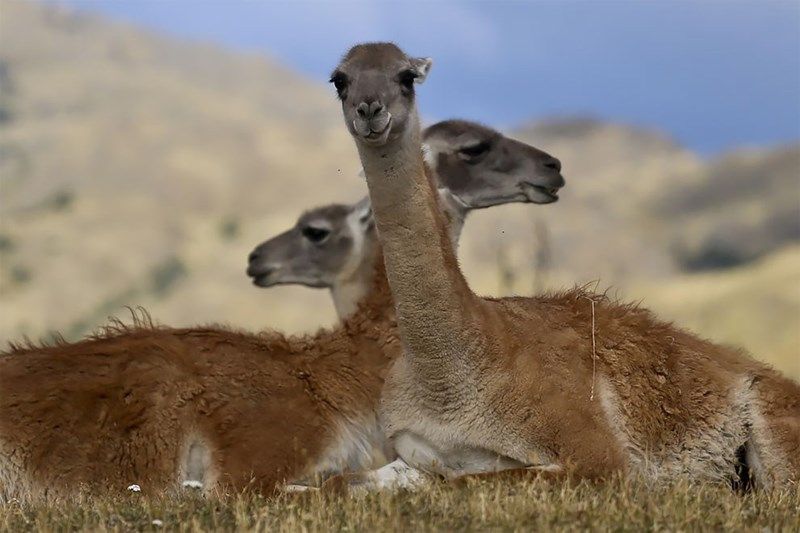Three Guanacos sitting huddled together and facing in different directions