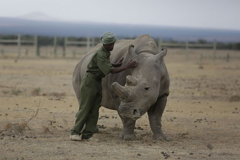 Man in khaki outfit petting a white rhino