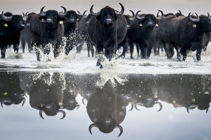 Buffaloes running across a reflective surface