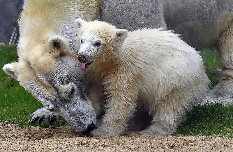 Polar bear mother leaning down to support her baby