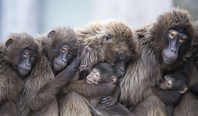 Baboons sitting together and cradling babies to the chests