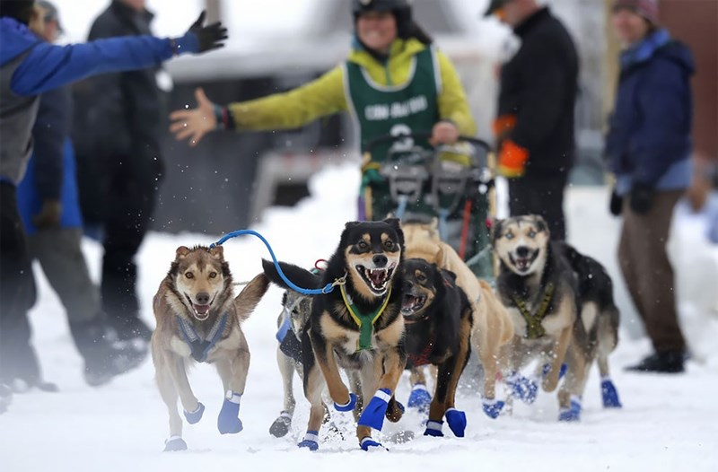 Sled dogs charging toward the camera in snowy setting