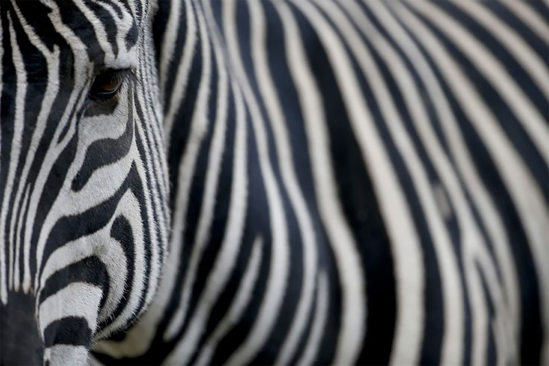 Close up photo of an eye and the striped fur coat of a zebra