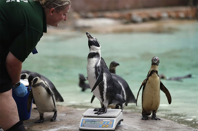 Penguin looking up at a woman while standing on a weighting scale