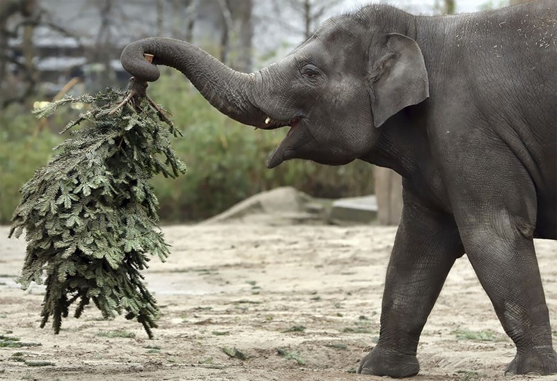 Elephant holding a tree with its trunk
