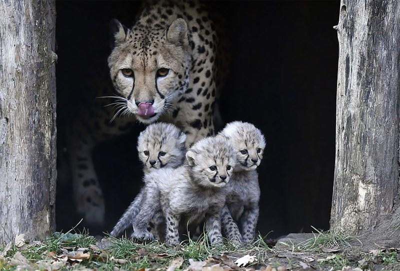 Cheetah watching the camera above her three babies