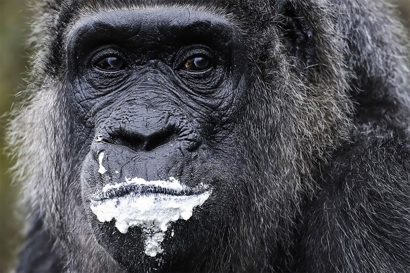 Close up pic of gorilla with food stains around her mouth