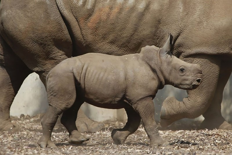 Baby rhino walking past an adult one