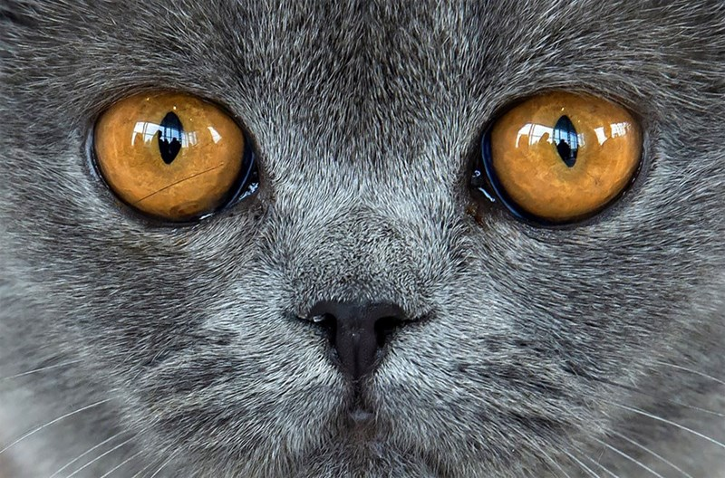 Closeup photo of a grey cat with large orange eyes