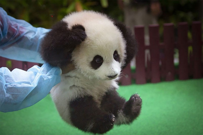 Baby panda bear being picked up