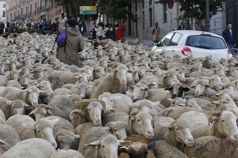 A herd of sheep in the middle of an ubran street