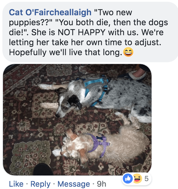 "Text - Cat O'Faircheallaigh ""Two new puppies??"" ""You both die, then the dogs die!"". She is NOT HAPPY with us. We're letting her take her own time to adjust. Hopefully we'll live that long. 5 Like Reply Message 9h"