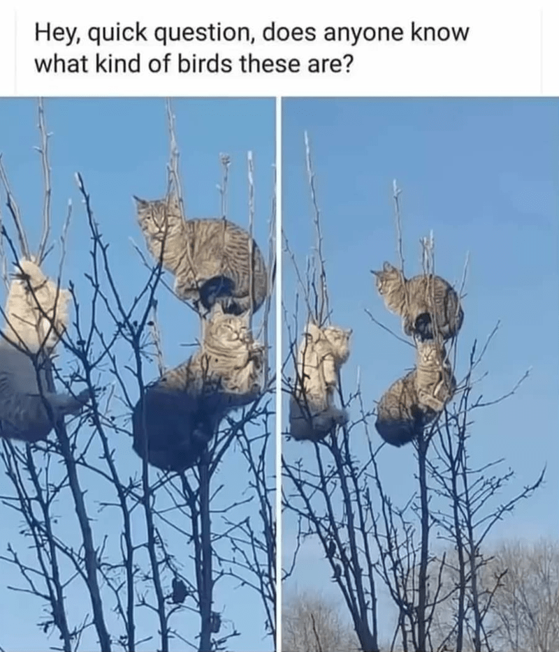 Caturday meme about cats sitting on a high tree looking like birds