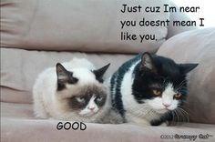 grumpy - Cat - Just cuz Im near you doesnt mean I like you. GOOD co py Qo