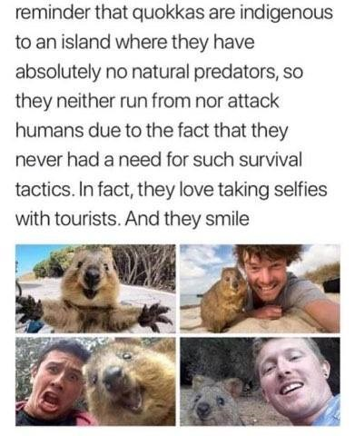 Adaptation - reminder that quokkas are indigenous to an island where they have absolutely no natural predators, so they neither run from nor attack humans due to the fact that they never had a need for such survival tactics. In fact, they love taking selfies with tourists. And they smile