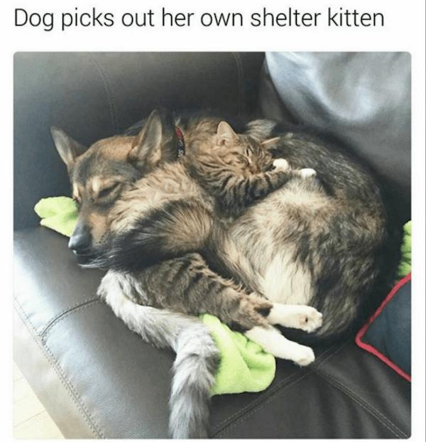 Cat - Dog picks out her own shelter kitten