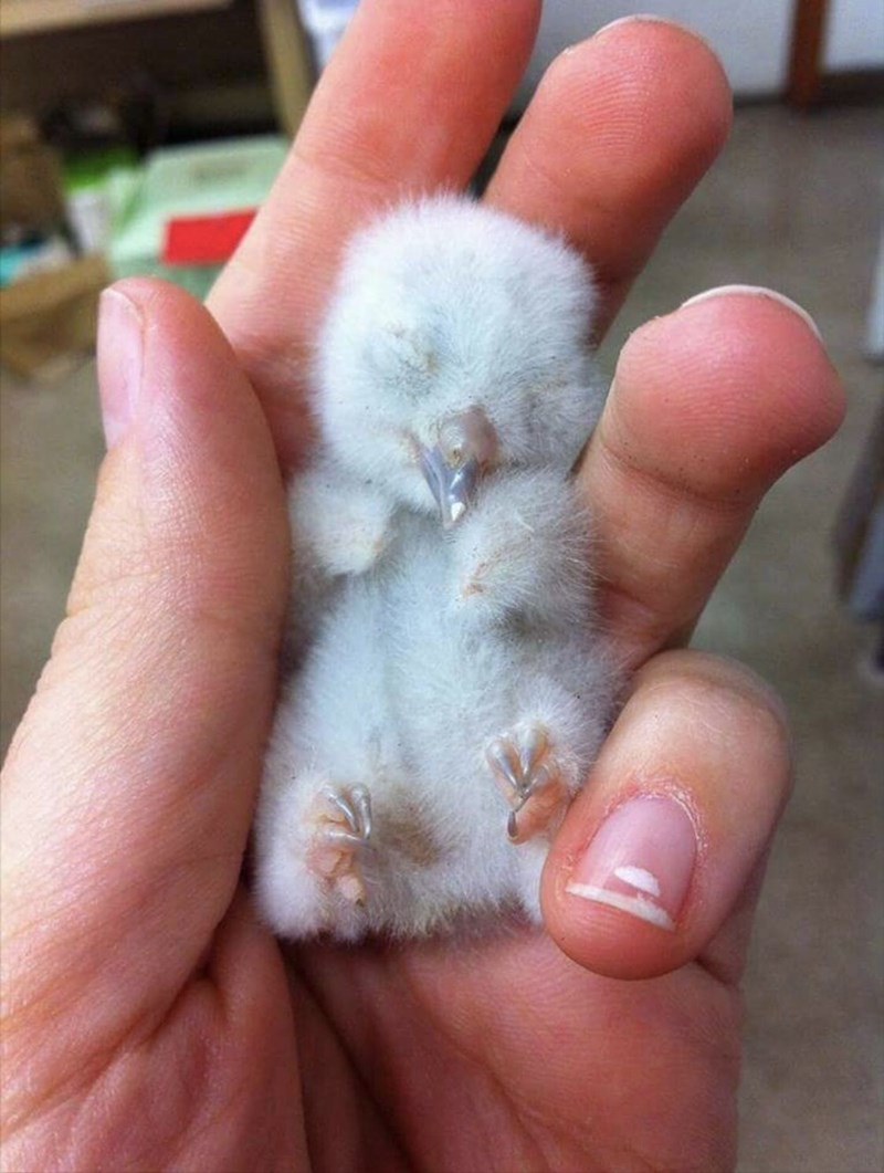 aww so cute baby animals baby owl Owl - 9255142912